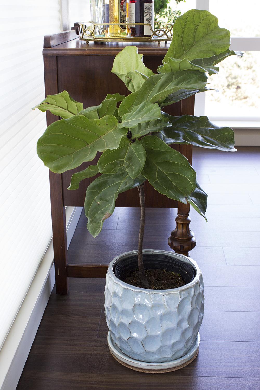 fiddle-leaf-fig-swansons-nursery-heyswansons-style-and-cheek